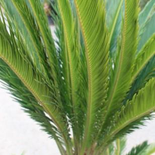 Sego Palm